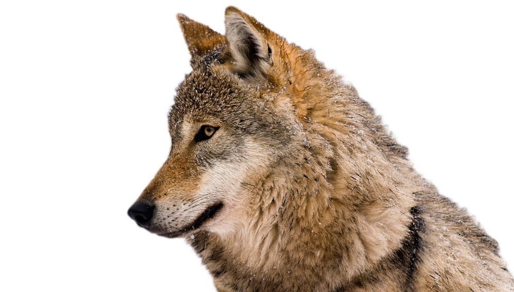 Red Wolf Howling DGW Law Corporation